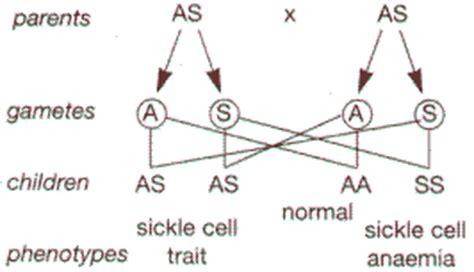 sickle cell diagram sickle cell trait