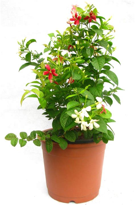 flowers plants buy madhumalti flower plant online at best prices in india
