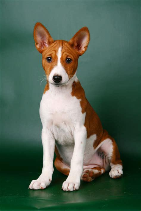 basenji dogs basenji breed images breeds picture