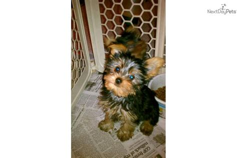 yorkie breeders in michigan terrier puppies for sale in mi and with it earn money space stage
