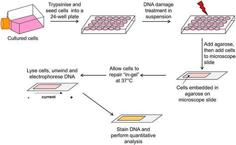 bioreactor cell culture protocol frontiers monitoring regulation of dna repair activities