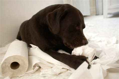 why do dogs chew on bones lovely why do dogs chew on bones alternativaazapatero org