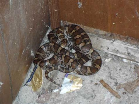 snake in basement found small snake in my basement central