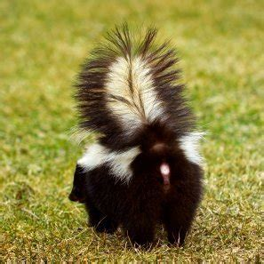 skunk wash how to get rid of skunk odor from clothes