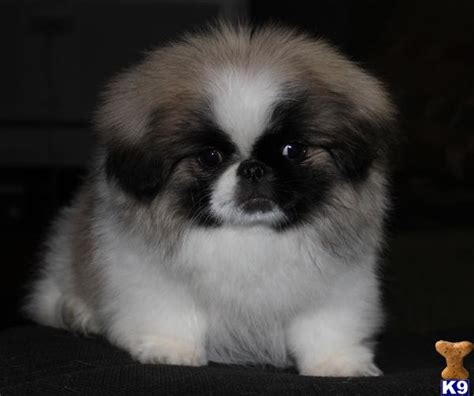 pekingese puppies for free white teacup pekingese puppies car interior design