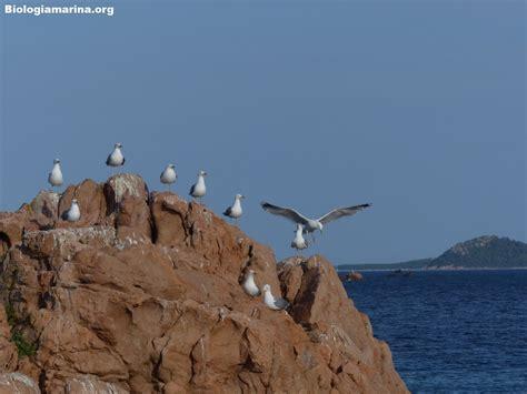 gabbiano reale mediterraneo gabbiano reale 49 biologia marina mediterraneo