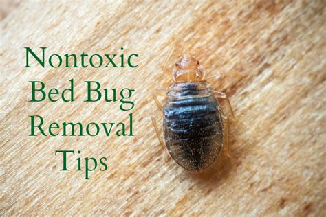rid  bed bugs naturally  effectively healthy home economist