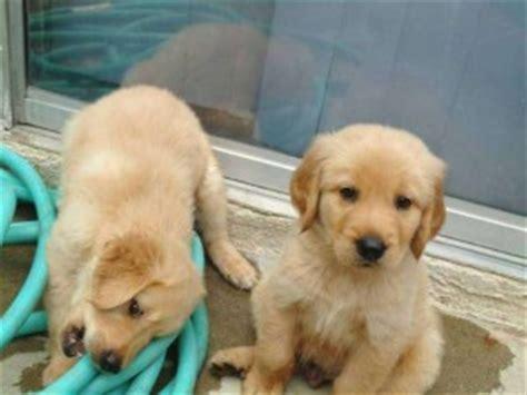 free puppies dallas pets dallas tx free classified ads