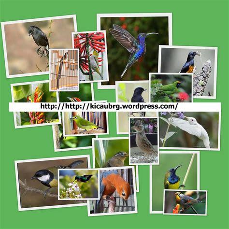 Harga Pakan Burung Pleci Nastar kicau burung 171 komunitas burung