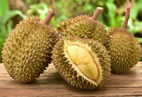 Bibit Durian Bawor Montong gambar jual paket bibit durian 3 jenis montong mentega