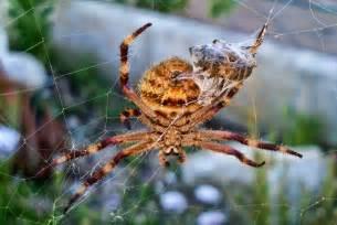 Garden Spider Australia Garden Spider Bite Australia