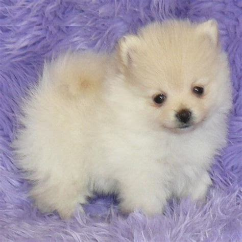 pomeranian puppies puppy dogs pomeranian puppies
