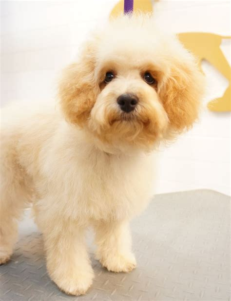 lhasa poodle mix and poodles on pinterest 83 best images about lhasa poodle mix on pinterest