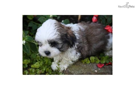 half maltese half shih tzu for sale half pomeranian and shih tzu mix breeds picture