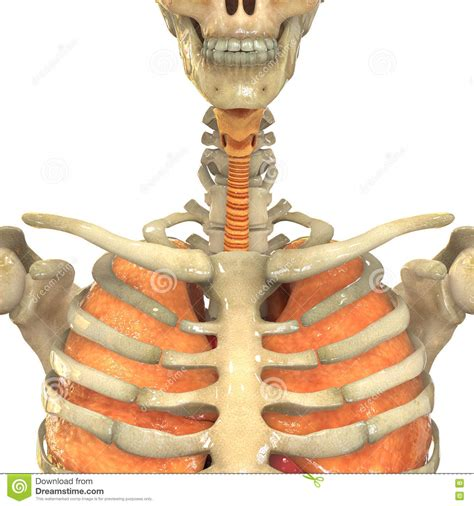 el sistema caged y 1910403520 human muscle body with respiratory system royalty free stock image cartoondealer com 70522084