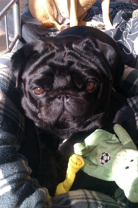 all black pugs all black pug for stud proven bournemouth dorset pets4homes