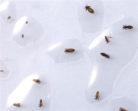 what does a bed bug look like up close what head lice bugs look like dog breeds picture