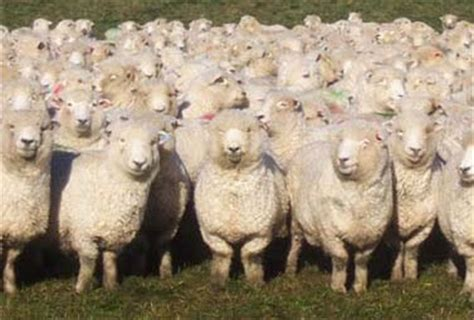 how to a to herd sheep team or herd of sheep pierrefonds roxboro elections
