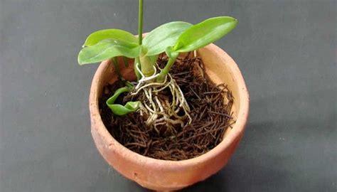Pot Anggrek Sabut Kelapa 4 cara menanam anggrek dengan sabut kelapa tanaman hias