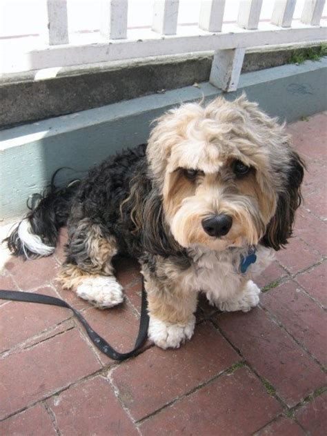 lhasa poodle mix and poodles on pinterest lhasa poo lhasa apso poodle furry friends pinterest