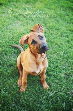 half rottweiler half boxer half pitbull half german shepherd breeds picture