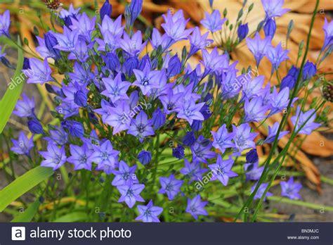 blue flowers of brodiaea laxa quot queen fabiola stock photo royalty free image 30200196 alamy