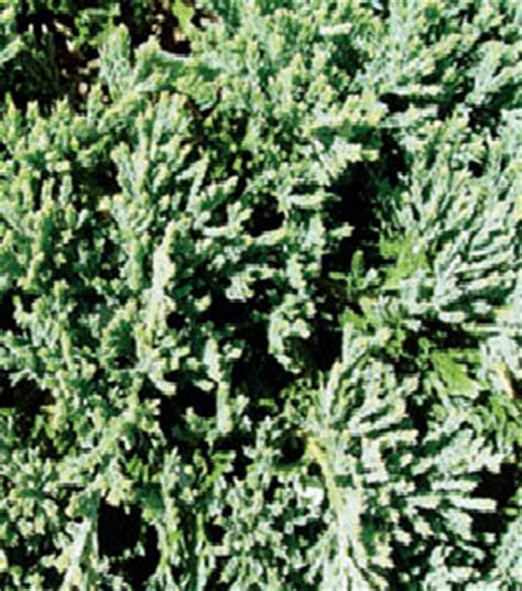 blue rug juniper spacing lancaster farms item details for