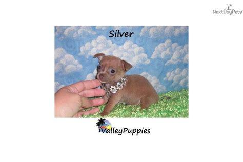 yorkies for sale in mcallen terrier yorkie puppy for sale near mcallen edinburg 5a674651 1e11