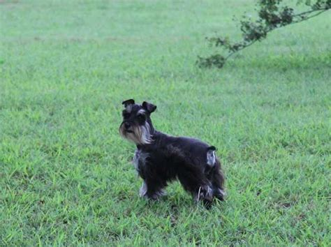 dogs for sale in oklahoma miniature schnauzer puppies and dogs for saleadoption in oklahoma breeds picture