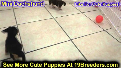 miniature dachshund puppies for sale ny miniature dachshund puppies for sale in westchester new york breeds picture