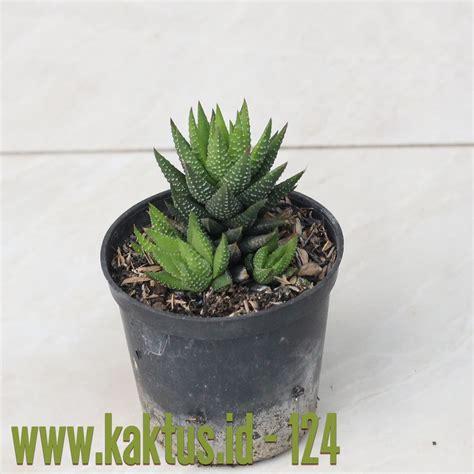 jual kaktus unik tanaman hias sukulen suvenir