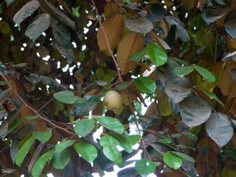 Aple Syar I buy apple fruit trees chrysophyllum caimito