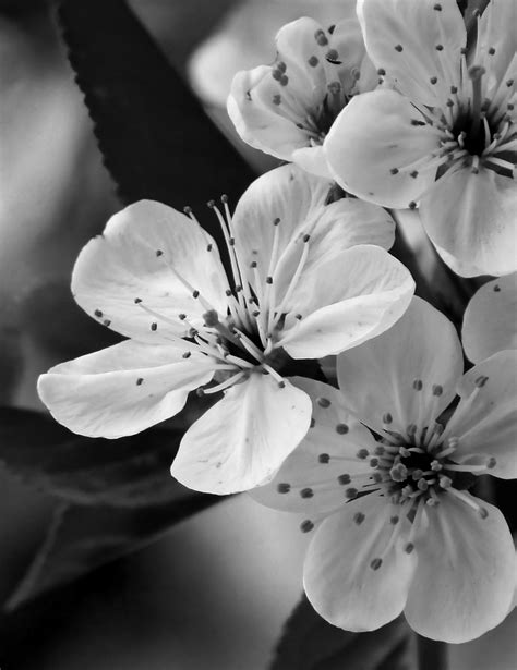 Photographic Florals by Black And White Flower Photography Digital Photography