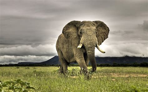 elephant wallpaper for pc wallpapers african elephant wallpapers