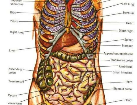 human anatomy organs diagram rib cage and organs diagram anatomy organ