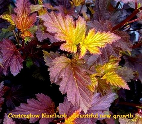 centerglow ninebark
