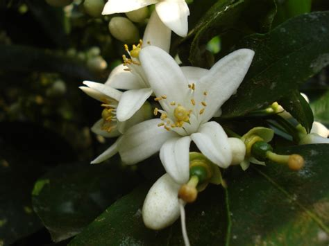 24 florida state flower tropicaltanning info