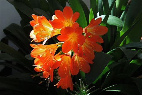 clivea miniata an easy care flowering houseplant hubpages sarah browning kaffir lily is a gift plant for the