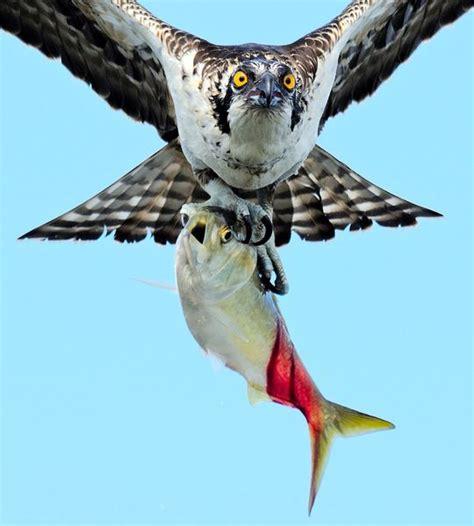 Kaos Birds Of Prey pin di teasca adrian su zoo uccelli aquile