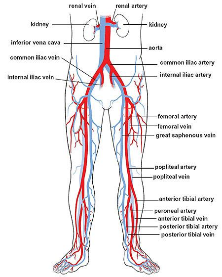 diagram of femoral artery photos iliac and femoral arteries anatomy diagram charts