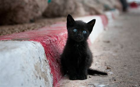black kitten wallpaper blue eyed black kitten wallpaper animal wallpapers 27279