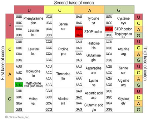 Codon Table by Dna Genes And Chromosomes Of Leicester