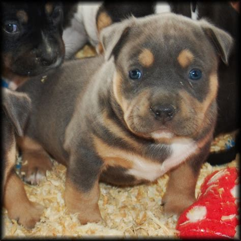 tri color pitbull puppies for sale tri color pitbull bully puppies for sale