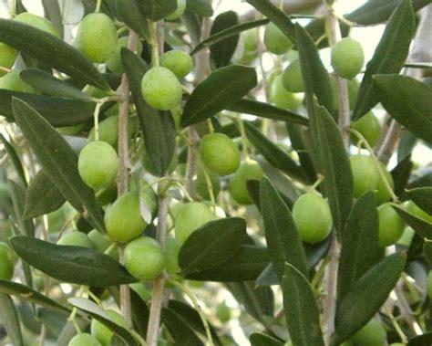 olive fiori di bach olive fiore di bach cosa 232 e a cosa serve olive dei