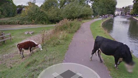 google imagenes vacas la vaca a la que google maps difumin 243 el rostro para