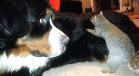 squirrel buries nut in going viral squirrel hides his nuts in s fur animalpages