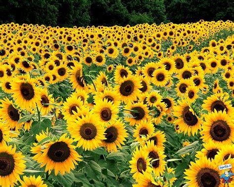 fiori di girasole sfondi gt gt fiori gt gt foto girasoli 22 flowers