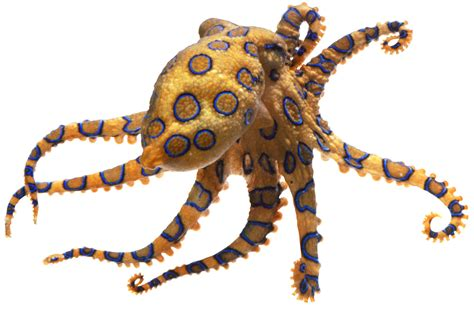 Picture Of A Blue Ring by Blue Ringed Octopus Facts For Dk Find Out