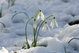bucaneve fiori haiku bucaneve il canto delle muse
