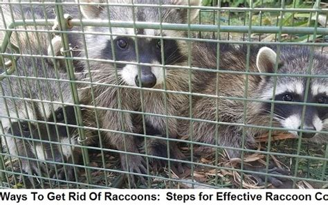 how to get rid of raccoons in backyard how to get rid of raccoons in the attic roof ceiling